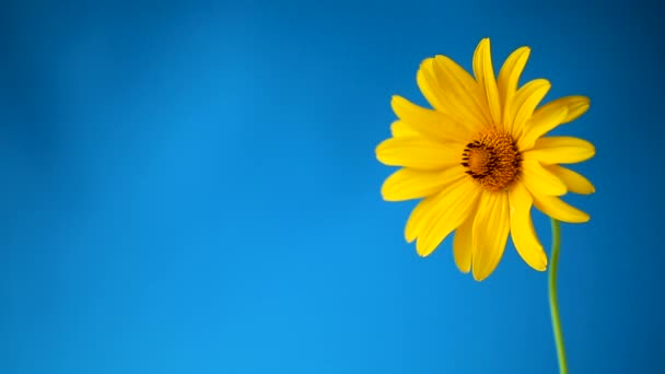 yellow summer blooming daisy flower isolated on blue