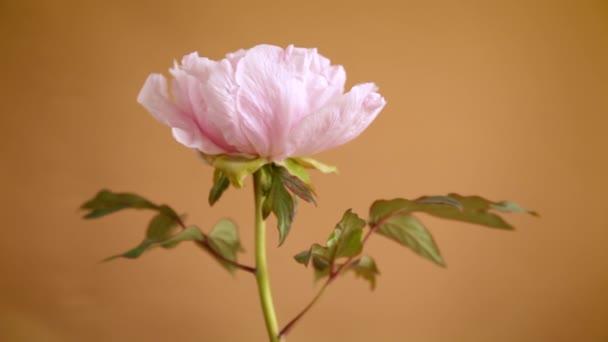 blooming pink tree peony flower on orange background