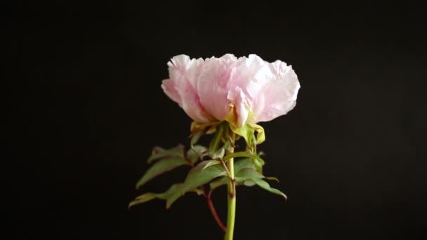 blooming pink tree peony flower on black background