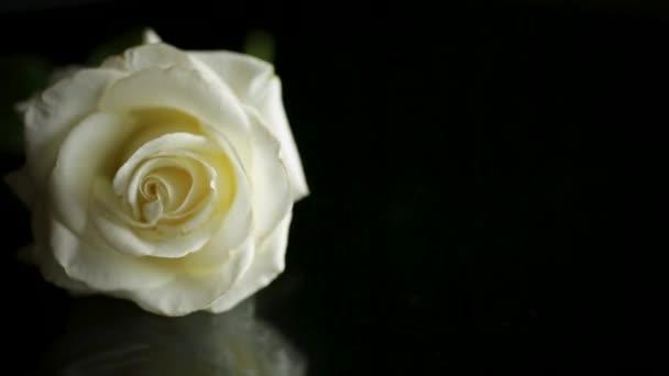 jedna krásná bílá růže na černém pozadí