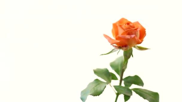 jasně oranžová růže se zelenými listy, na bílém pozadí