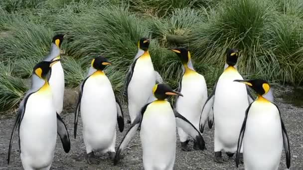 King Penguins at South Georgia