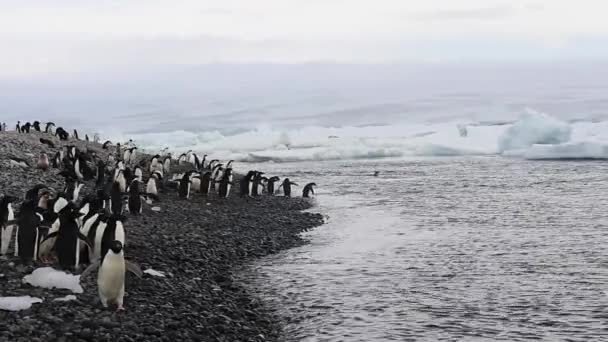 Adelie Penguins walk along beach in Antarctica