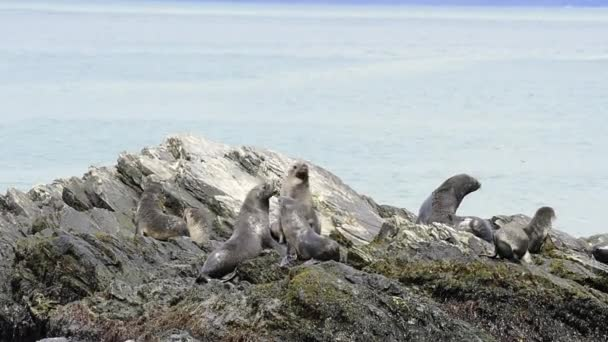 Antarktické kožešina seal pup na skále