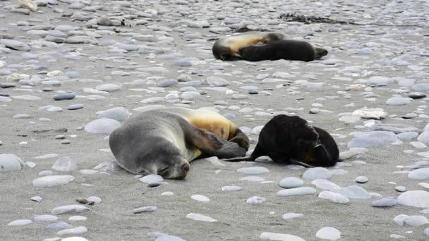 Antarctic fur seal pup close