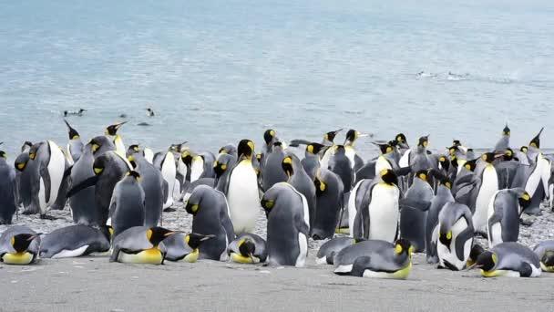 King Penguins at South Georgia