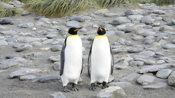 Tučňáků na Jižní Georgie