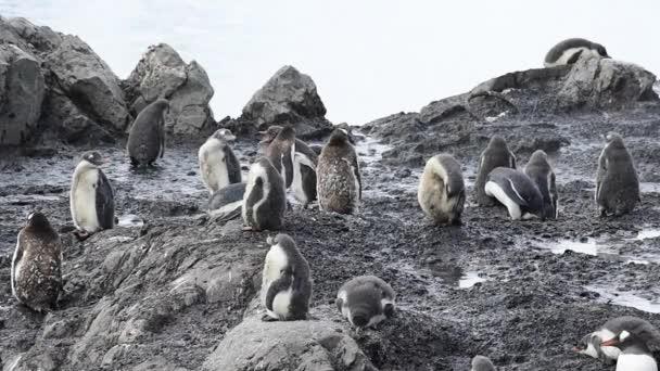 Pinguini di Gentoo sul nido