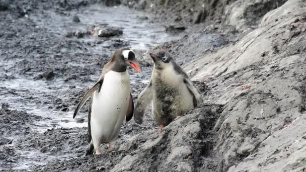 Gentoo pingvin a fészken költő állatok