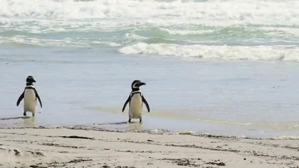 Magellán-pingvin a strandon