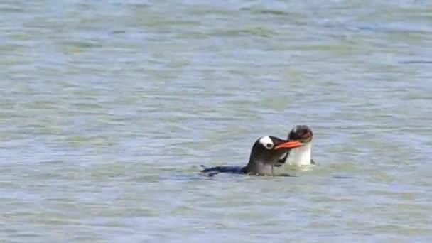 Gentoo Penguin in the water
