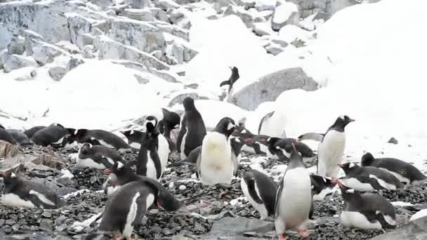 Gentoo Penguins na hnízdě