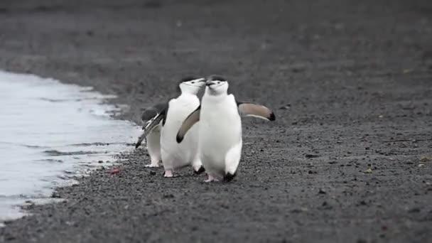 Állszíjas pingvin a strandon
