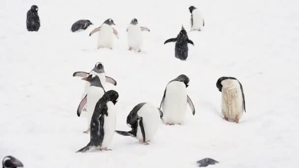 Gentoo tučňáci na pláži