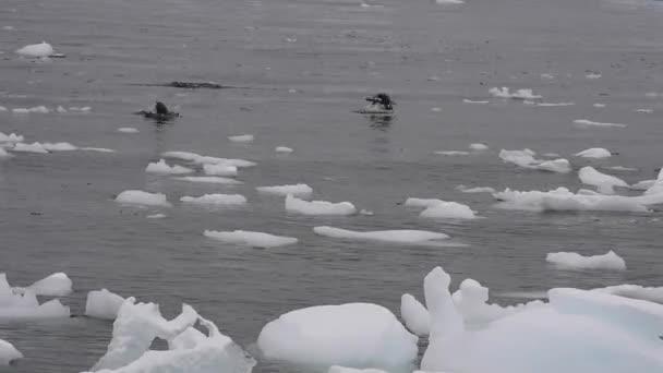 Pinguini di Gentoo in acqua