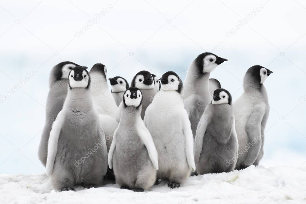 Emperor Penguin chicks on the ice