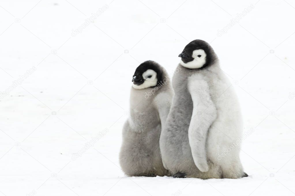 Two Emperor Penguins chicks on ice