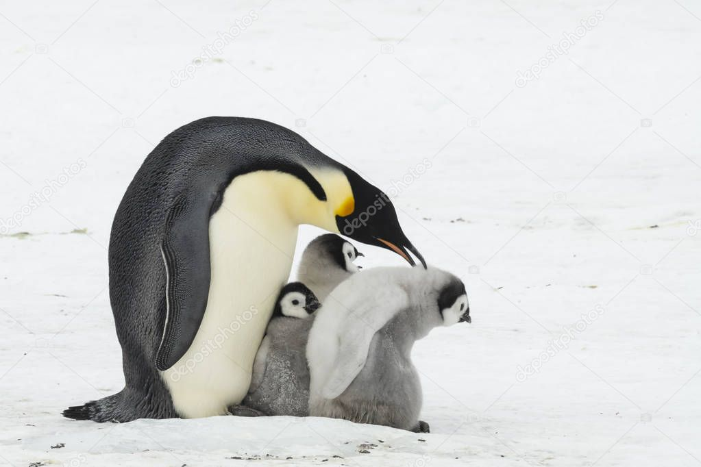 Emperor Penguin with chicks