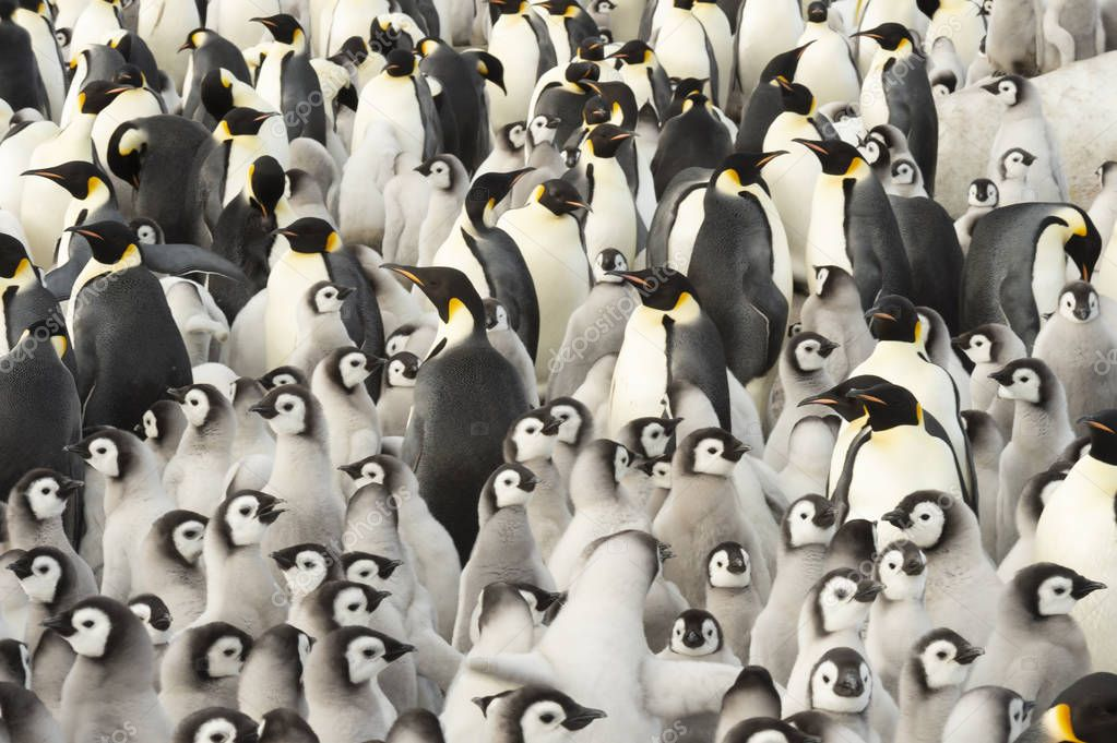 Emperor Penguin colony with chicks