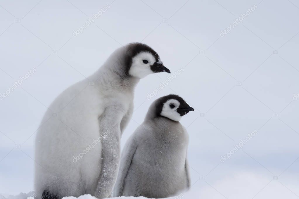 Two Emperor Penguins chicks