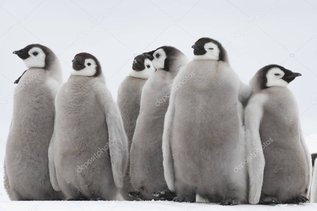 Emperor Penguins chicks on ice