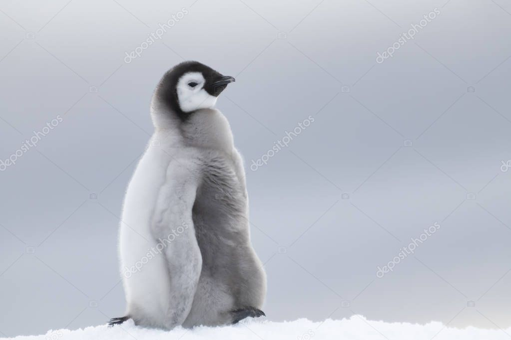 Emperor Penguin chick on ice