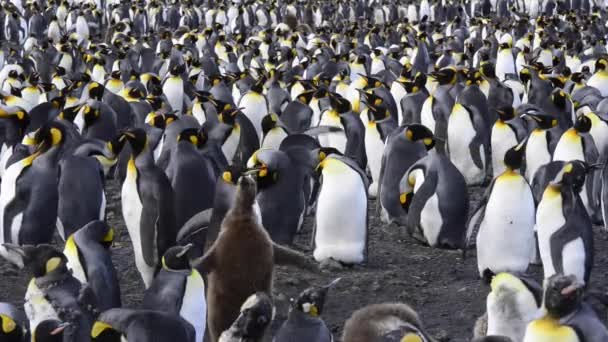 Királypingvinek kolónia a strandon