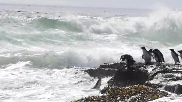 Rockhopper pingvin Falkland sziget