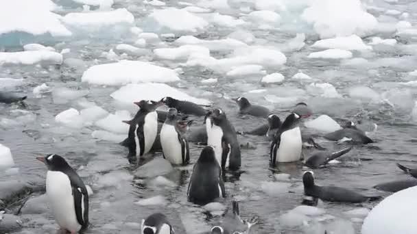 pinguini Gentoo sulla spiaggia