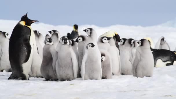 Császár pingvin a csibék az Antarktiszon
