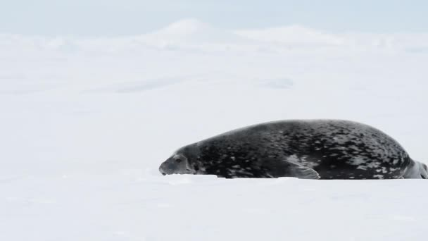 Weddell Seal laying on the ice