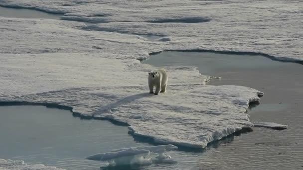 Polar bear, séta a jégen.