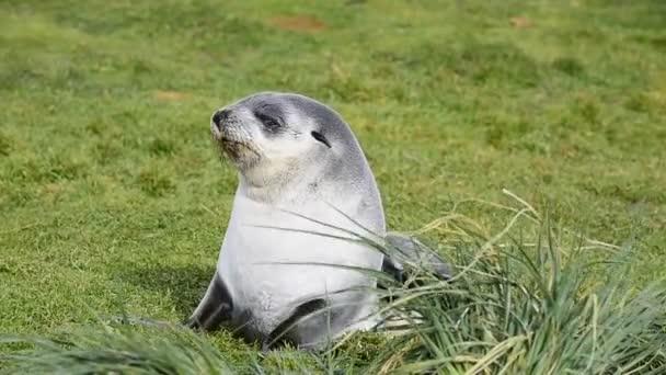 Antarctic fur seal pup close up in grass