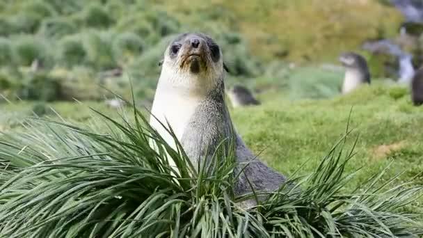 Antarktisz-i prémfóka kölyökkutya a fűben