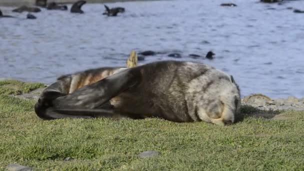Antarktiszi medvefóka kölyökkutya közelről a fűben