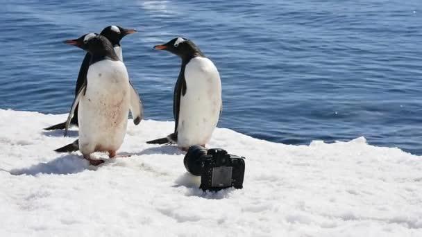 Gentoo Penguins olvasás a jég