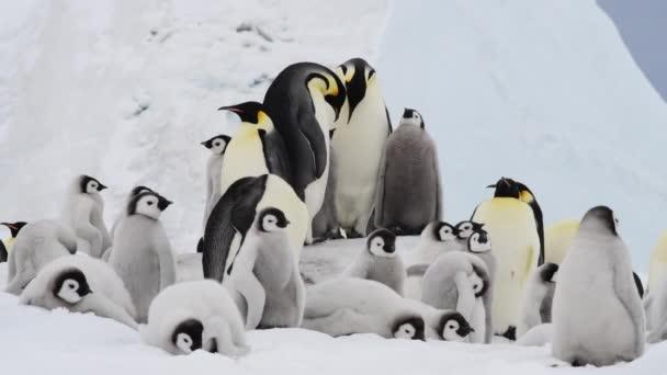 Pingvinek császár csirkékkel az Antarktiszon