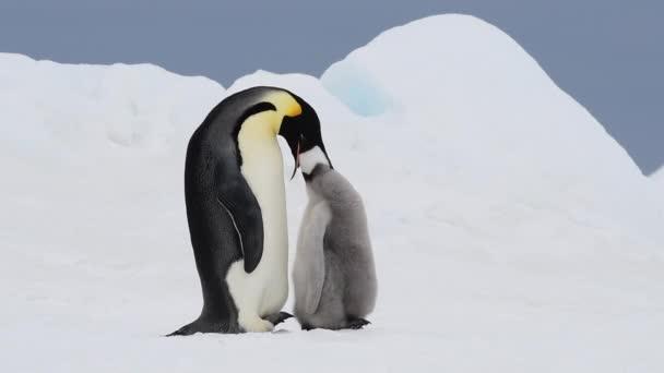 Császár pingvin a csaj az Antarktiszon