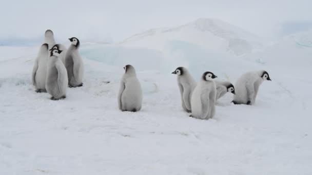 Imperatore pinguino pulcini ,Aptenodytes forsteri, sul ghiaccio
