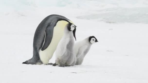 Emperor Penguin with two chicks in Antarctica