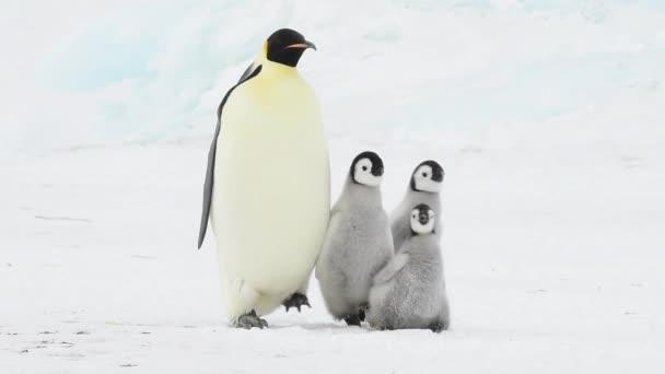Tučňák císařský se dvěma buchtama v Antarktidě