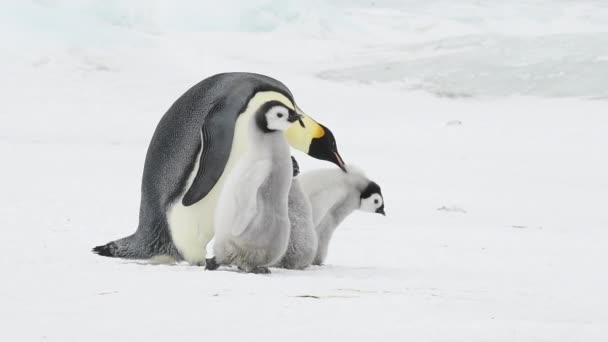 Császár pingvin két csajok az Antarktiszon