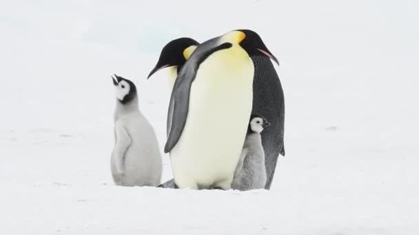 Emperor Penguins with chicks in Antarctica