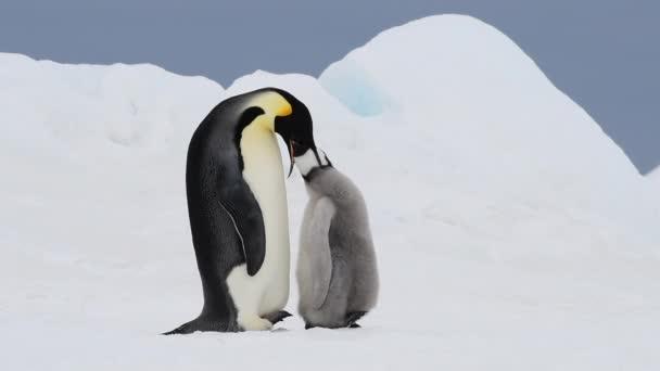 Tučňák císařský s kuřátkem v Antarktidě