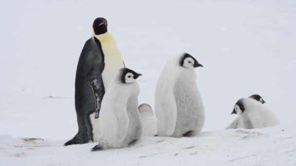 Császár Penguins at Snow Hill Antarktisz 2018
