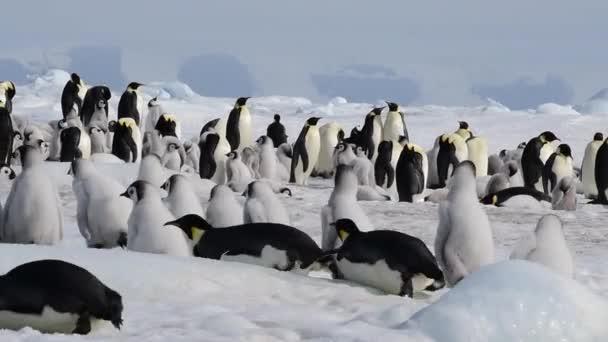 Tučňáci císaře ve Snowhill Antarktidě 2018