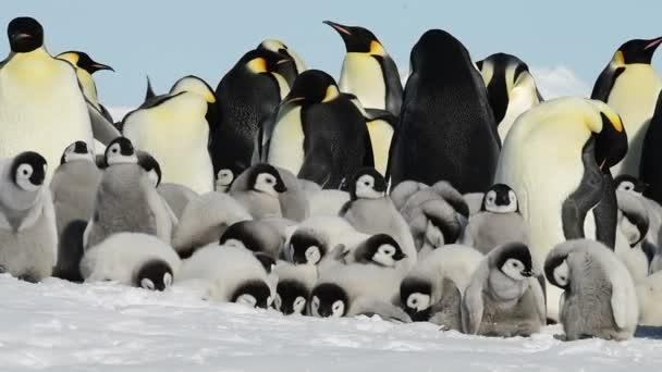 Császárpingvinek a csibék az Antarktiszon