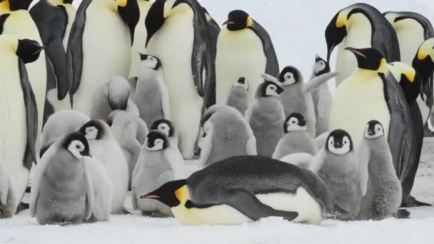 Tučňáci císařští s kuřaty v Antarktidě