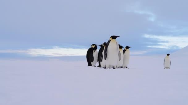 Császár pingvinek a hóban n Antarktisz