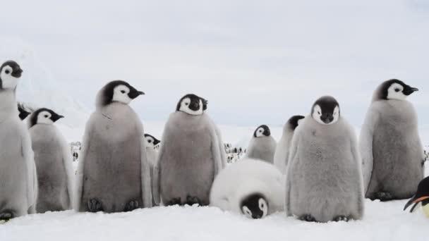 Császár pingvin csibék, Aptenodytes forsteri, a jégen
